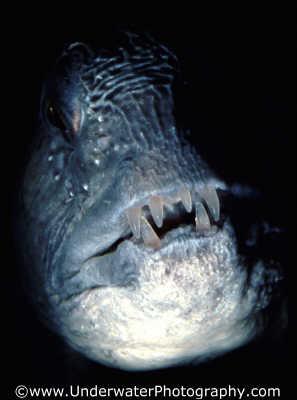 wolf fish elongated pisces marine life underwater diving scottish borders scotland scotch scots escocia schottland united kingdom british