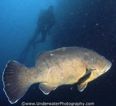 grouper diver medas islands spain fish pisces marine life underwater diving spanien españa espagne la spagna europe european spanish