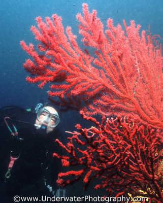 diver gorgonia medas islands spain fan coral corals attached marine life underwater diving spanien españa espagne la spagna europe european spanish