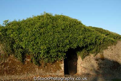ivy covered wall rosslare walls abstracts misc. republic ireland eire irish irland irlanda europe european