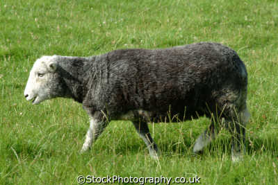 grey face sheep bovidae ovis animals animalia natural history nature misc. county armargh ard mhacha northern ireland ulster irish irland irlanda