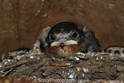 baby swallow nest birds aves animals animalia natural history nature misc. nurture cornwall cornish england english angleterre inghilterra inglaterra united kingdom british