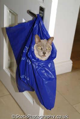 cat shopping bag hanging door handle cats felidae animals animalia natural history nature misc. united kingdom british