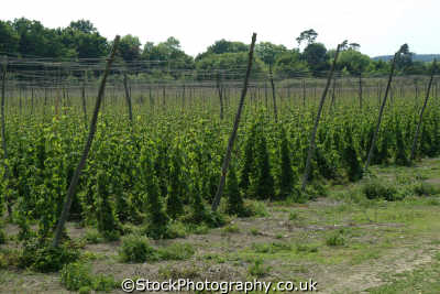 hop fields agriculture farming natural history nature misc. brewing beer kent england english angleterre inghilterra inglaterra united kingdom british
