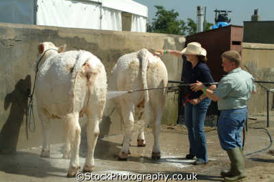 yorkshire spray washing cattle prior showing north east england northeast english uk cows dairy great britain united kingdom british