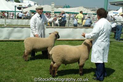 yorkshire competotors share light moment sheep ring north east england northeast english uk great britain united kingdom british