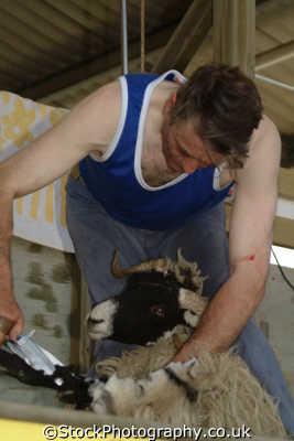 sheep shearing yorkshire north east england northeast english uk great britain united kingdom british
