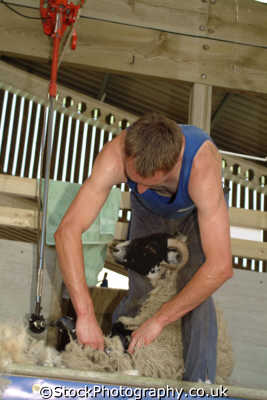 sheep shearing yorkshire north east england northeast english uk great britain united kingdom british