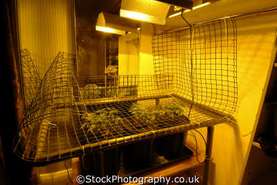 cannabis grown hydroponically sodium lighting using technique called screen green drugs pharmaceutical substances abuse addiction health fitness people persons hyroponics middlesex middx england english great britain united kingdom british