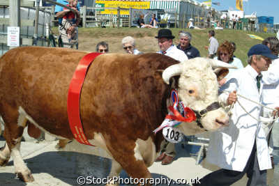 champion bull royal cornwall farming countryside rural south west england southwest country english uk cornish great britain united kingdom british