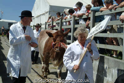champion beef shorthorn cows royal cornwall farming countryside rural south west england southwest country english uk cornish great britain united kingdom british