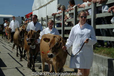 champion jersey cattle royal cornwall farming countryside rural south west england southwest country english uk cornish great britain united kingdom british