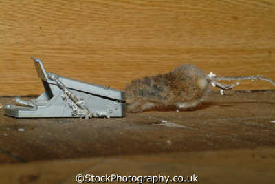 mousetrap dead mouse caught animals animalia natural history nature misc. vermin cornwall cornish england english great britain united kingdom british