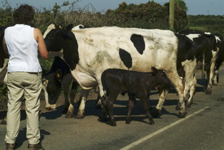 cows blocking road calf rural britain countryside rustic pastoral environmental bovine dairy milking cornwall cornish england english angleterre inghilterra inglaterra united kingdom british