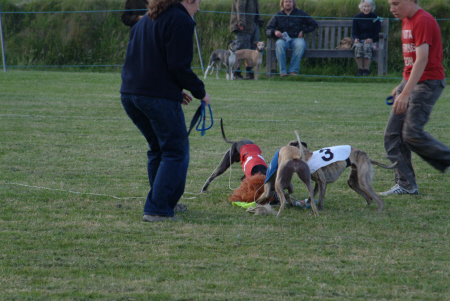 whippet racing dogs hare sports sporting cornwall cornish england english angleterre inghilterra inglaterra united kingdom british