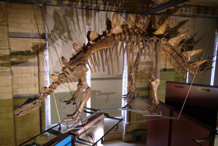 tuojiangosaurus fossilised skeleton natural history museum london museums galleries buildings architecture capital england english united kingdom british
