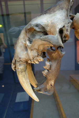 sabre tooth tiger skull natural history museum london museums galleries buildings architecture capital england english united kingdom british