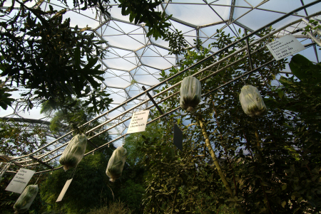 eden project banana exhibit rainforest biome tourist attractions england english botanical garden attraction architectural geodesic dome cornish cornwall angleterre inghilterra inglaterra united kingdom british