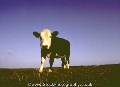 cow field farmyard animals animalia natural history nature misc. milk manure dorset england english angleterre inghilterra inglaterra united kingdom british