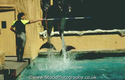 dolphins jumping stick held trainer tursiops flippers marine life underwater diving perform berkshire england english angleterre inghilterra inglaterra united kingdom british