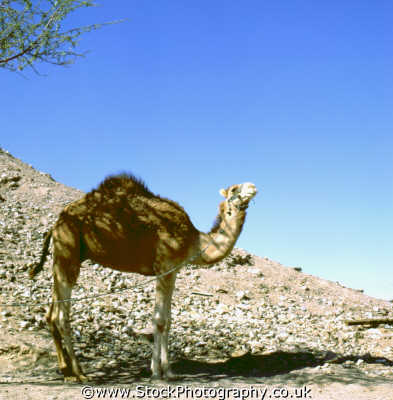 camel tethered desert desolate natural history nature misc. barren wilderness israel jewish middle east israeli