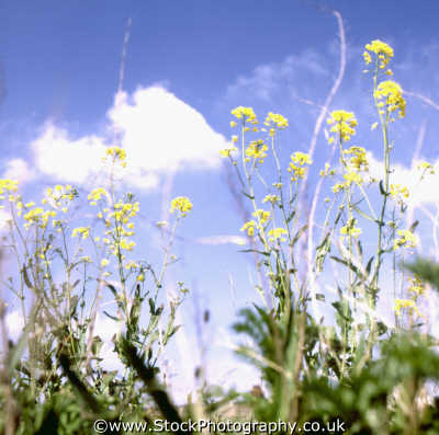 yellow flowering grasses sky background plants plantae natural history nature misc. shrub bush weed united kingdom british