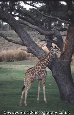 baby giraffe eating bark tree african animals animalia natural history nature misc. nibble snack consume feast devour animal kingdom orlando florida usa united states america american