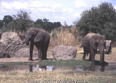 elephants waterhole african animals animalia natural history nature misc. fortify animal kingdom orlando florida usa united states america american