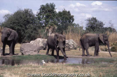 elephants waterhole view landscape african animals animalia natural history nature misc. recharge thirst animal kingdom orlando florida usa united states america american