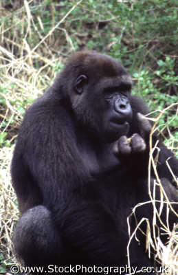 gorilla eating african animals animalia natural history nature misc. lunch dinner dining snack digest animal kingdom orlando florida usa united states america american