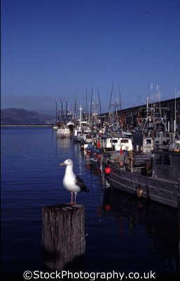 fishermans wharf seagull fishing boats marine misc. seafood san francisco franciscan california californian usa united states america american