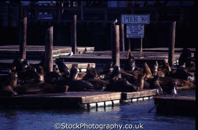 pier 39 resident sea lions pontoons san francisco california american yankee travel crowded noisey franciscan californian usa united states america
