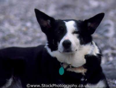 mongrel dog collie cross dogs canidae canine animals animalia natural history nature misc. bitch england english angleterre inghilterra inglaterra united kingdom british