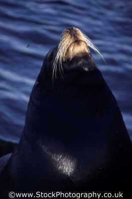 bull sea lion whiskers monterey california american yankee travel cheeky californian usa united states america