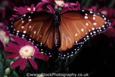 butterfly flower insects arthropod insecta animals animalia natural history nature misc. pretty vunerable precious flimsy united kingdom british