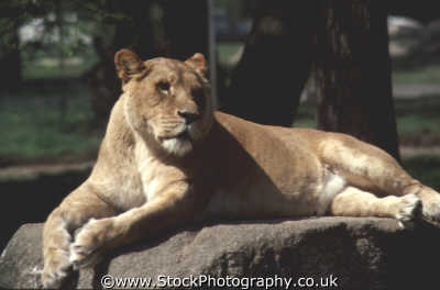 lioness windsor safari park african animals animalia natural history nature misc. captured lazing rest berkshire england english angleterre inghilterra inglaterra united kingdom british
