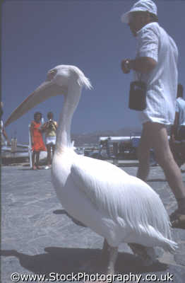 petros pelican tourists birds aves animals animalia natural history nature misc. bird mykonos greek island dodcanese islands greece europe european