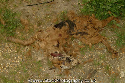 dead dog road kill dogs canidae canine animals animalia natural history nature misc. death middlesex middx england english angleterre inghilterra inglaterra united kingdom british
