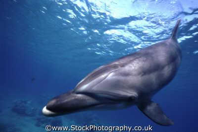 bottlenose dolphin swimming marine life underwater diving israel jewish middle east israeli