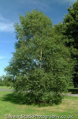 betula altensis betulaceae trees wooden natural history nature misc. leaf branch foliage richmond london cockney england english angleterre inghilterra inglaterra united kingdom british