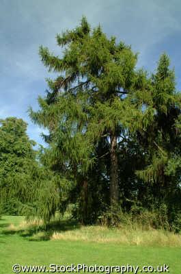 european larch larix decidua pinaceae trees wooden natural history nature misc. leaf branch foliage richmond london cockney england english angleterre inghilterra inglaterra united kingdom british