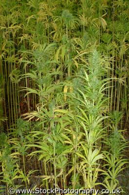 cannabis plants flowers plantae natural history nature misc. hash hemp blow puff weed thc cannabinol smoke stoned drug drugs eden project cornish cornwall england english angleterre inghilterra inglaterra united kingdom british