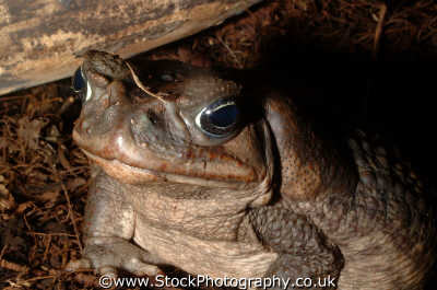 cane toad portrait bufo marinus reptiles reptilia reptilian animals animalia natural history nature misc. narcotic london cockney england english angleterre inghilterra inglaterra united kingdom british