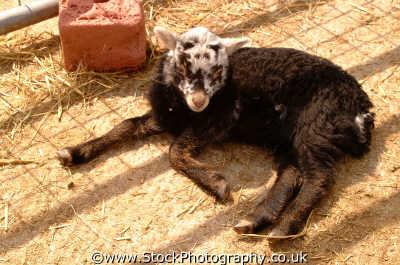 lamb animals animalia natural history nature misc. newborn berkshire england english angleterre inghilterra inglaterra united kingdom british