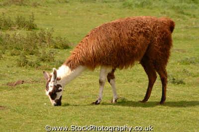llama grazing animals animalia natural history nature misc. england english angleterre inghilterra inglaterra united kingdom british