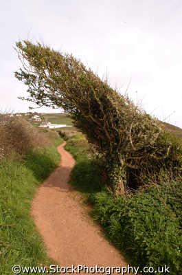 coastal path weathered bush south west england southwest country english uk lean devon devonian angleterre inghilterra inglaterra united kingdom british