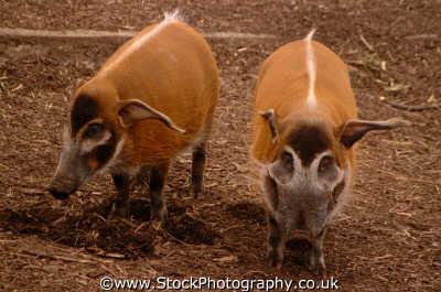 red river hogs potamochoerus porcus animals animalia natural history nature misc. pigs london cockney england english angleterre inghilterra inglaterra united kingdom british
