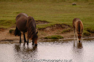 horses drinking dartmoor moorland countryside rural environmental uk thirsty devon devonian england english angleterre inghilterra inglaterra united kingdom british