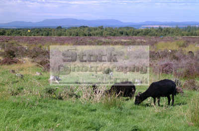 culloden moor black sheep goats grazing moorland countryside rural environmental uk battles redcoats jacobites moray morayshire scotland scottish scotch scots escocia schottland united kingdom british