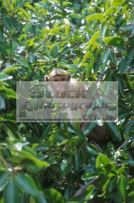 macaque monkey green leaves macaca monkeys primates animals animalia natural history nature misc. sri lanka asia lankan